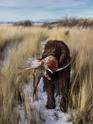 Irish Water Spaniel with Pheasant